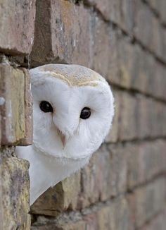 I'm a huge owl enthusiast but especially the barn owls..... precious.
