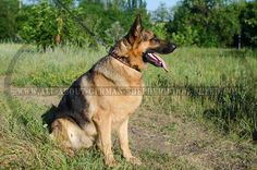 Non-stretching #Leather #Collar for #German #Shepherd $49.99 | www.all-about-german-shepherd-dog-breed.com