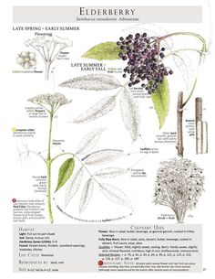 Elderberry // from Foraging and Feasting
