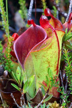 "Heliamphora minor var. minor, Marsh Pitcher Plant in habitat, tepui ""F"", Canaima National Park, Bolivar, Venezuela | Flickr - Photo Sharing!"