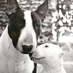 big bullie & little bullie (Bull Terriers)