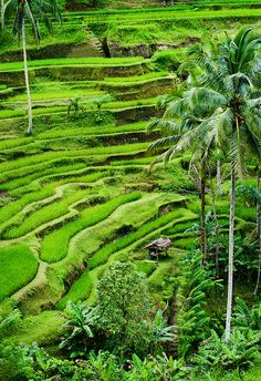 Rice terraces of Tegallalang in Bali, Indonesia #coltivazioni #riso #tegallalang #bali #indonesia