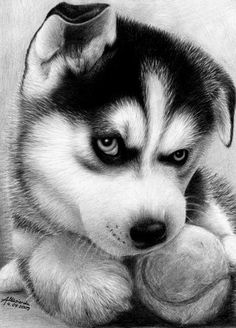 Such a cute Siberian Husky ! , from Iryna