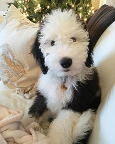 Adorable Black & White Tuxedo Sheepadoodle Puppy - Aww!