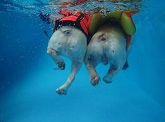 """I like Frenchie butts and l cannot lie!"", swimming French Bullldogs, ❤ Happy Monday"