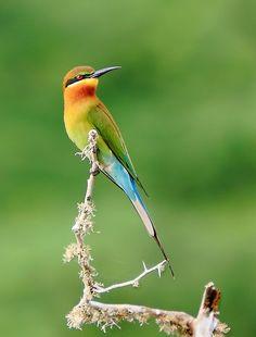 """Bee eater"" by RuwanFonseka | Colorful Birds #Photography Contest Winners - ViewBug.com"