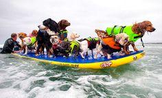 Perros surfistas invaden playa de EE UU  http://www.latribuna.hn/2016/07/30/perros-surfistas-invaden-playa-ee-uu/