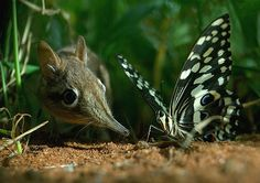 A Sengi (Elephant Shrew) investigates a Swallowtail Butterfly