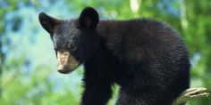 The Florida Fish and Wildlife Conservation Commission says it plans to allow another controversial black bear trophy hunt. signatures on petition) Bear Hunting, Trophy Hunting, Sloth Bear, Bear Paws, Florida Fish, Animal Action, 3 Bears, Stop Animal Cruelty, Wildlife Conservation
