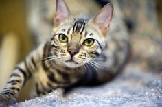 http://www.thestar.com/content/dam/thestar/news/insight/2013/05/13/bengal_and_savannah_cats_bring_touch_of_the_wild_into_homes/bengal_cat_closeup.jpg
