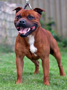 Staffordshire bull terrier, look at that big head! Love it!