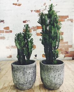 One of our all time favourites, the African milk tree is back in stock. Available in a 200mm pot in 2 sizes MED $50 70cm tall LRG $70 90cm tall Available in store or online