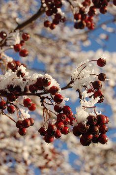 #snow #berries
