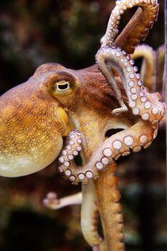 Fine Art Photography- Octopus-Animal-Marine Print-Home Decor-Zoo-Brown by StorytellingArt on Etsy Underwater Creatures, Underwater Life, Ocean Creatures, Octopus Pictures, Animals Beautiful, Beautiful Creatures, Vida Animal, Octopus Art, Octopus Drawing