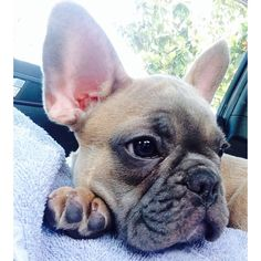 French Bulldog on her first Car Ride.