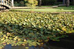 nenúfares  Jardin Japones  Constitucion Region del Maule Chile