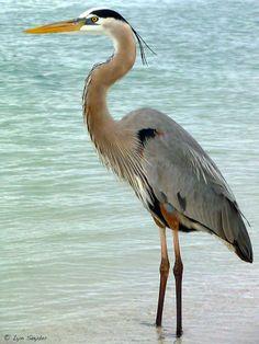 Great Blue Heron; my favorite!