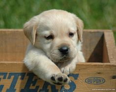 labrador retriever puppy. there are no words for how cute this is...