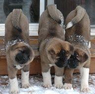 Adorable Akita puppies !