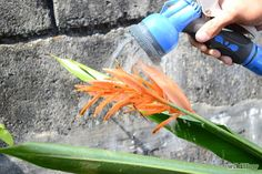 How to Grow Bird of Paradise