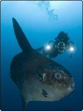 Diving Bali - Sunfish at Lembongan Island - photo courtesy of ScubaZoo Scuba Diving Bali, Lembongan Island, Trips, Animals, Spaces, Future, Viajes, Animales, Future Tense
