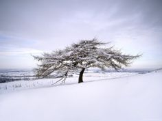 Tree in Winter Snow, North York Moors National Park, North Yorkshire ...