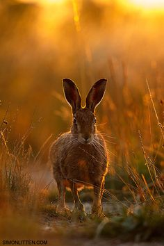 Brown Hare | Workshop Image by Simon Litten on 500px