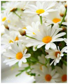 {pretty daisies}