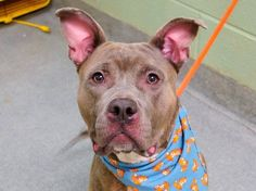 TO BE DESTROYED - 02/03/15 Manhattan Center My name is ABE. My Animal ID # is A1026263. I am a male gray and tan staffordshire mix. The shelter thinks I am about 3 YEARS old. I came in the shelter as a STRAY on 01/24/2015 from NY 10455, owner surrender reason stated was OWN EVICT