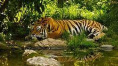 Resultado de imagem para tigres