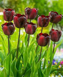 "Képtalálat a következőre: ""különleges tulipánok"" Continental, Blossom Flower, Red Color, Frost, Bouquet, Shapes, Drawings, Spring, Simple"