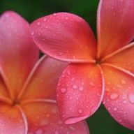 Plumeria , if I ever put a tattoo on my body ~ this flower will be involved.