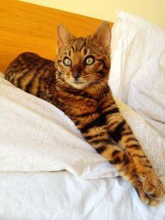 My toyger kitten growing up..legs are getting very striped now :)