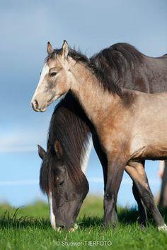 Heaven's She's The One - WingWalkerFarm American Saddlebred Tennessee Walking Horse