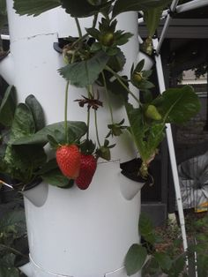 Wow, I'm amazed!  I am so very excited to have my very own tower garden.  Already eating lots of fresh organic produce too.  My aeroponic tower garden is right in my back yard.  https://barbieri.towergarden.com/  Email me at angela.barbieri@gmail.com