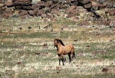 Kiger stallion