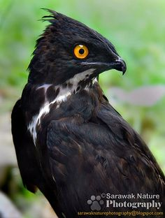 Bat Hawk, Malaysia. This bird is not named for its spooky appearance - it actually eats bats.
