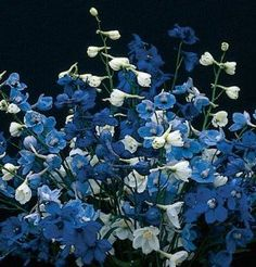 Flower Delphinium Belladonna Mix 50 Open Hybrid Seeds by David's Garden Seeds by David's Garden Seeds. $4.42. Free-flowering, well-branched plants produce spikes in dark blue, turquoise, or white. Germination rate: 70%. Days to Bloom: 130 to 135. Brilliant blues and clean white commercial cut flowers. Non-GMO and easy to use. Brilliant blues and clean white commercial cut flowers. Free-flowering, well-branched plants produce spikes in dark blue, turquoise, or white. Often...
