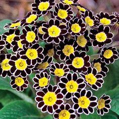 Bumble Bee Primrose - Primrose - Shade Perennials - Perennials