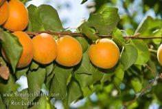 prunus armeniaca moorpark - apricot