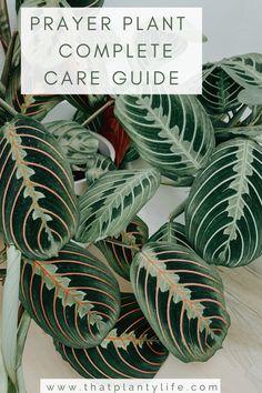 Prayer Plant - Maranta Leuconeura - Care Guide - That Planty Life Colorful Plants, Cool Plants, Shade Plants, Patio Plants, Outdoor Plants, Potted Plants, Prayer Plant Care, Trees To Plant, Plant Leaves