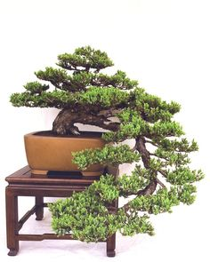 Juniperus prostrata  Bonsai tree http://vur.me/tbw/Bonsai
