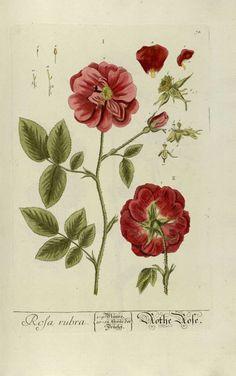 """Rosa Rubra. Gravures anciennes de plantes médicinales et pharmaceutiques tirées de """"Herbarium Blackwellanium..."""" Elisabeth Blackwell - Nüremberg 1757."""