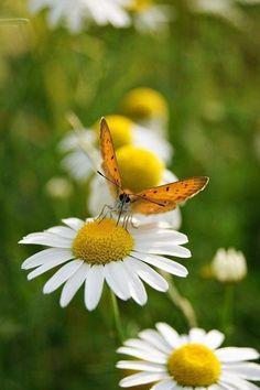 Preciosa Margaritas con una linda mariposa.