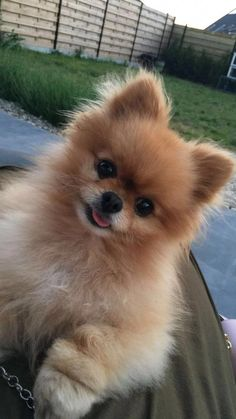 The many things I respect about the Cute Pomeranian Puppy Find Out More On Inquisitive Pomeranian Puppies Funny Dog Pictures, Puppy Pictures, June Pictures, Cute Dogs And Puppies, Baby Dogs, Doggies, Funny Dogs, Funny Animals, Pom Dog