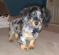 Dapple Long-Haired Dachshund puppy - I honestly cannot wait for the couple days I get mine! Bentley looks just like this!!!