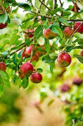 Taillez le pommier   En été, choyez vos arbres pour en récolter les fruits