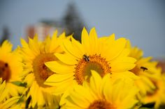 Sunflowers - Sunflowers and bees Sunflowers, Bees, Nature, Plants, Wood Bees, Flora, Plant, The Great Outdoors, Mother Nature