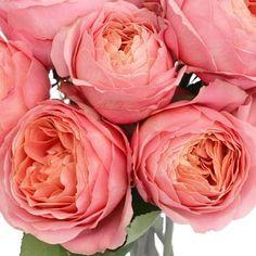 Pink Romantic Antike Garden Roses - look like peonies!