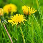 Free Image on Pixabay - Dandelion, Flower, Blossom, Bloom Taraxacum Officinale, Dandelion Flower, Passion Flower, Ficus, Blossom Flower, Flower Seeds, Shade Garden, Do Anything, Nature